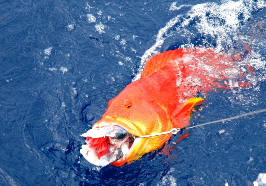 Hungry moontail sea bass - Rod Fishing Club - Rodrigues Island - Mauritius - Indian Ocean