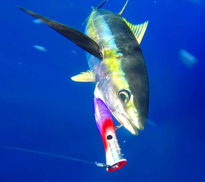 Magnifique prise d'un thon jaune au popper - Rod Fishing Club - Ile Rodrigues - Maurice - Océan Indien