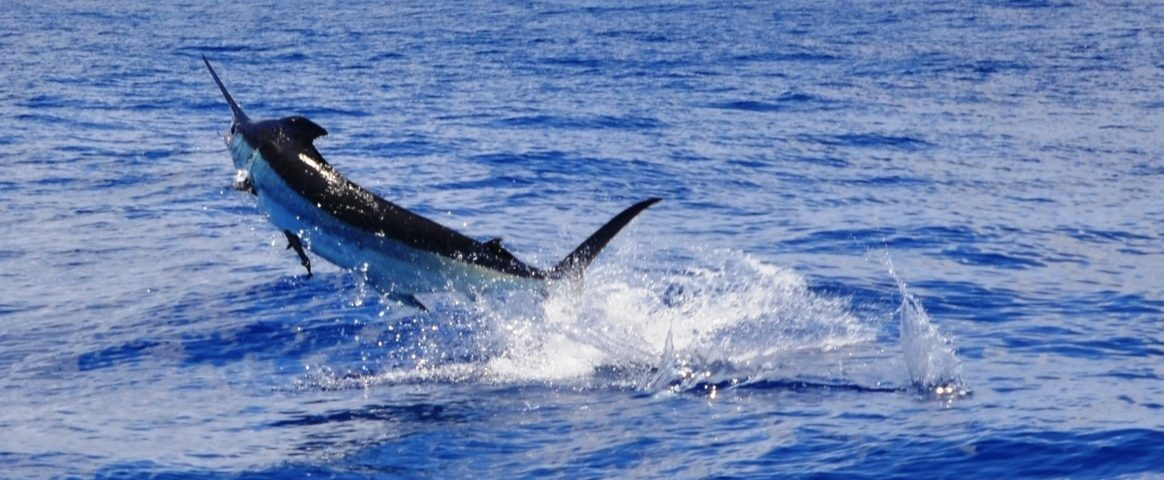 Marlin bleu ou Makaira nigricans - Rod Fishing Club - Ile Rodrigues - Maurice - Océan Indien