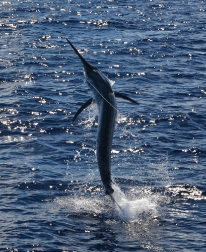 Marlin on baiting - Rod Fishing Club - Rodrigues Island - Mauritius - Indian Ocean