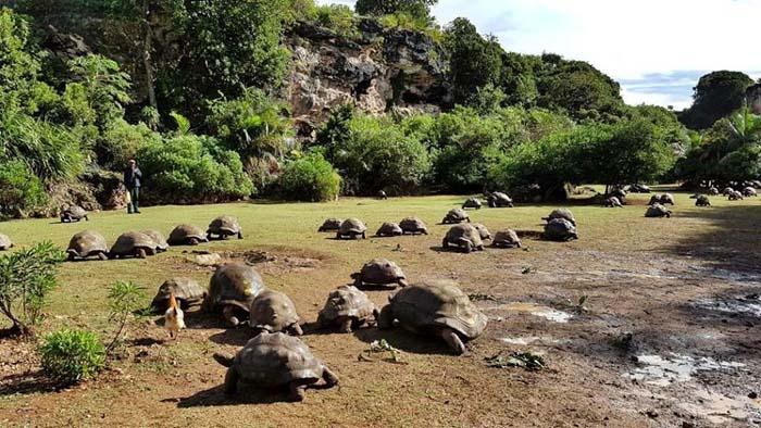 Parc tortues - crédit photo Réserve François Leguat - Rod Fishing Club - Ile Rodrigues - Maurice - Océan Indien_1