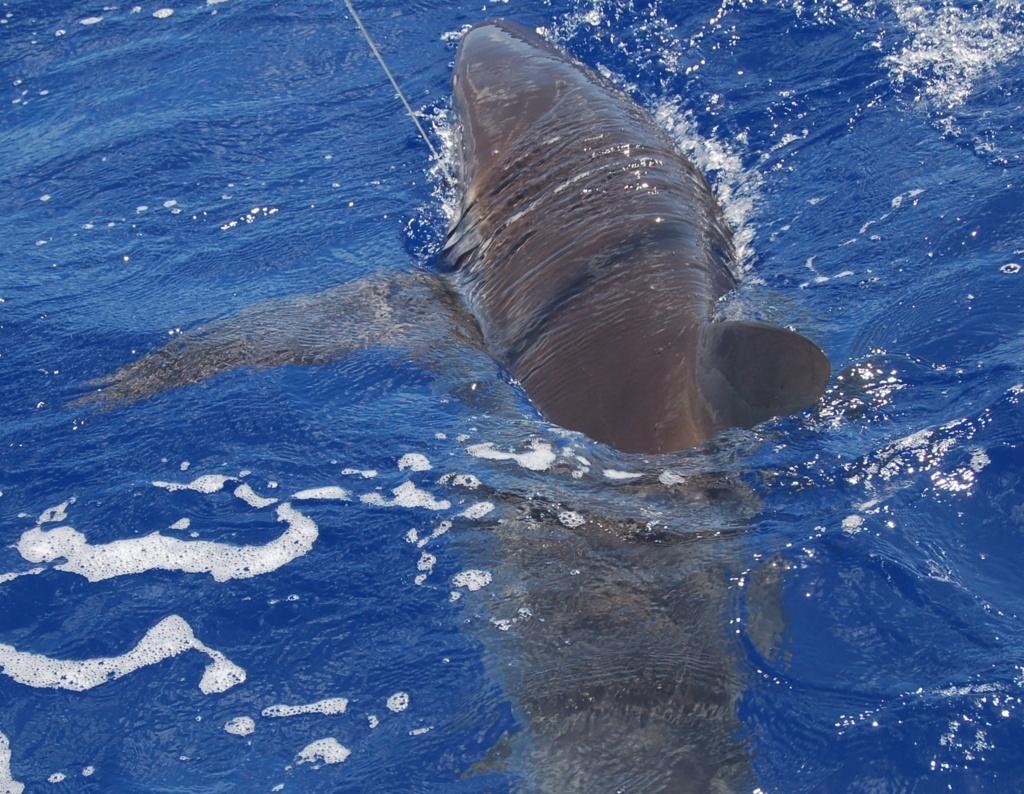 Requin au lignage - Rod Fishing Club - Ile Rodrigues - Maurice - Océan Indien