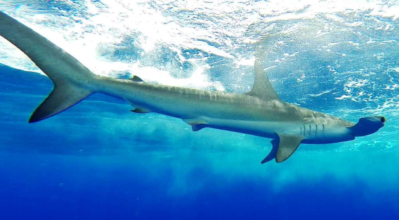 Requin marteau tournant autour du bateau - Rod Fishing Club - Ile Rodrigues - Maurice - Océan Indien