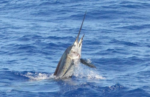 Sailfish jumping - Rod Fishing Club - Rodrigues Island - Mauritius - Indian Ocean