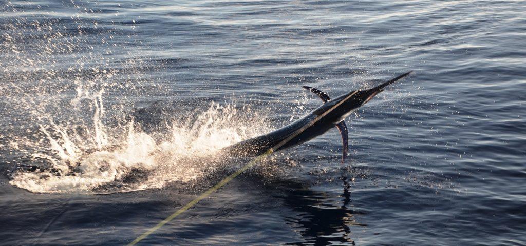 Sailfish jumping - Rod Fishing Club - Rodrigues Island - Mauritius - Indian Ocean