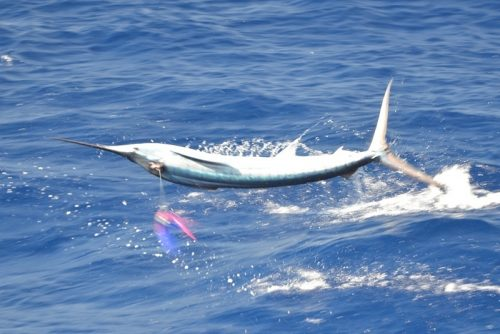 Sailfish on trolling - Rod Fishing Club - Rodrigues Island - Mauritius - Indian Ocean
