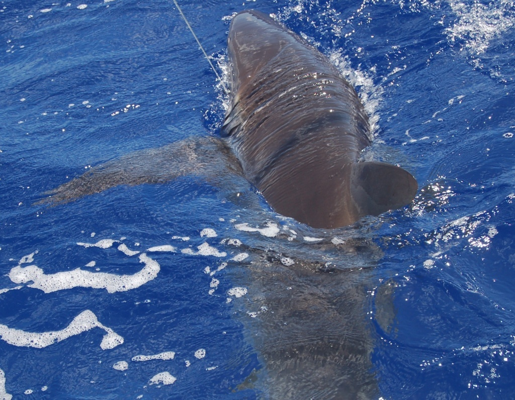 Shark on leasder - Rod Fishing Club - Rodrigues Island - Mauritius - Indian Ocean