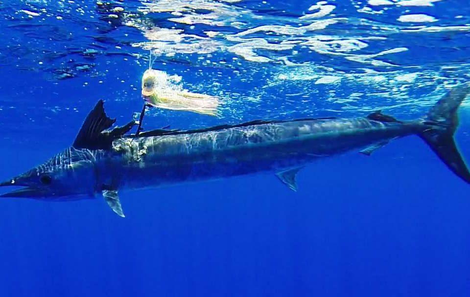 Spearfish or Tetrapturus angustirostris - Rod Fishing Club - Rodrigues Island - Mauritius - Indian Ocean