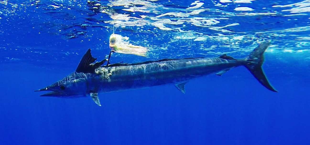 Hasil gambar untuk Shortbill Spearfish