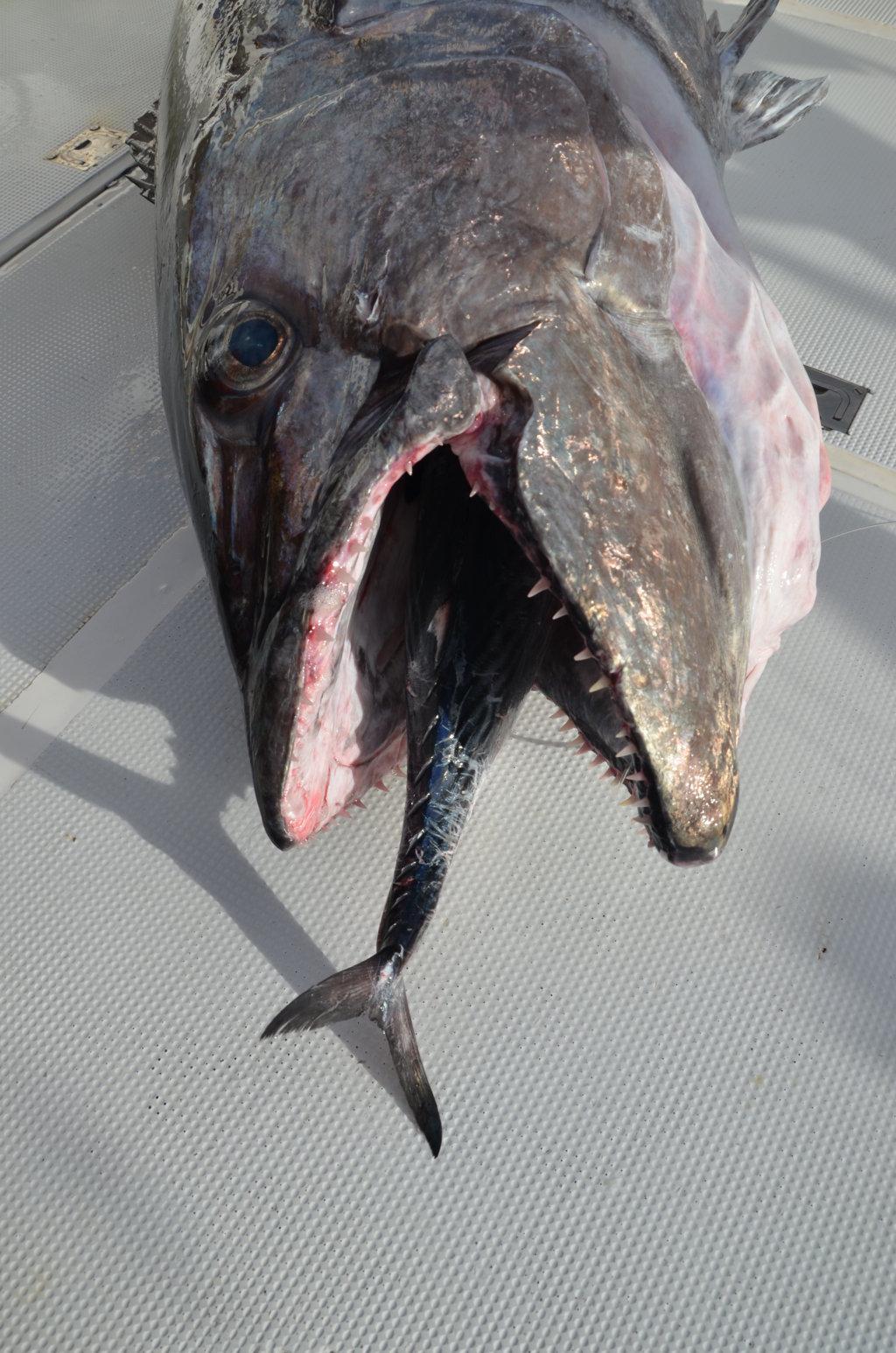 Thon à dents de chien pris à l'appât - Rod Fishing Club - Ile Rodrigues - Maurice - Océan Indien