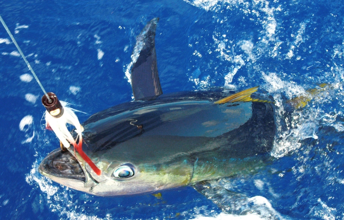 Thon jaune au bateau - Rod Fishing Club - Ile Rodrigues - Maurice - Océan Indien