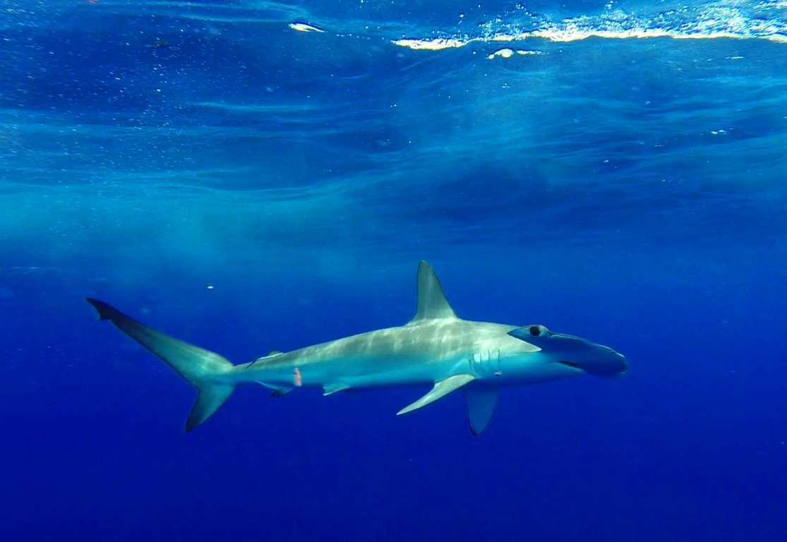 Underwater hammerhead shark - Rod Fishing Club - Rodrigues Island - Mauritius - Indian Ocean