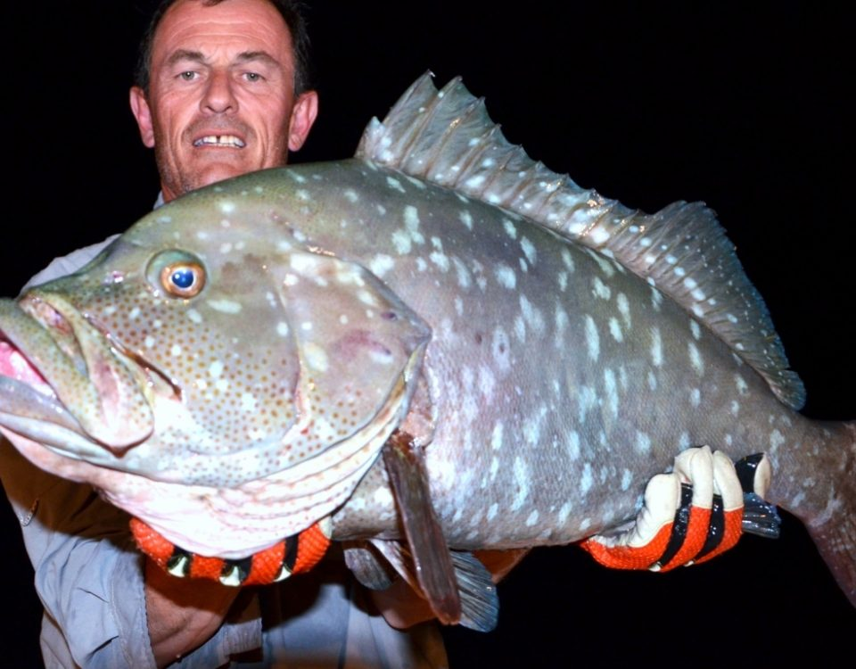White blotched grouper or Epinephelus multinotatus - Rod Fishing Club - Rodrigues Island - Mauritius - Indian Ocean