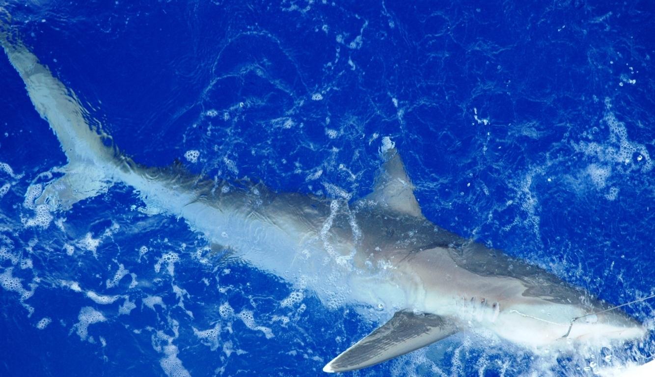 White tip shark - Rod Fishing Club - Rodrigues Island - Mauritius - Indian Ocean