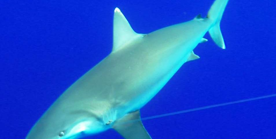 White tip shark or Carcharhinus albimarginatus - Rod Fishing Club - Rodrigues Island - Mauritius - Indian Ocean