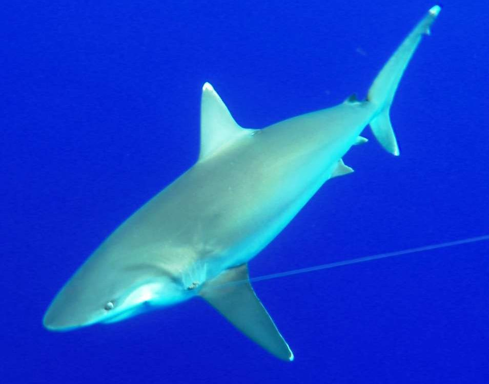 White tip shark or Carcharhinus albimarginatus - Rod Fishing Club - Rodrigues Island - Mauritius - Indian Ocean