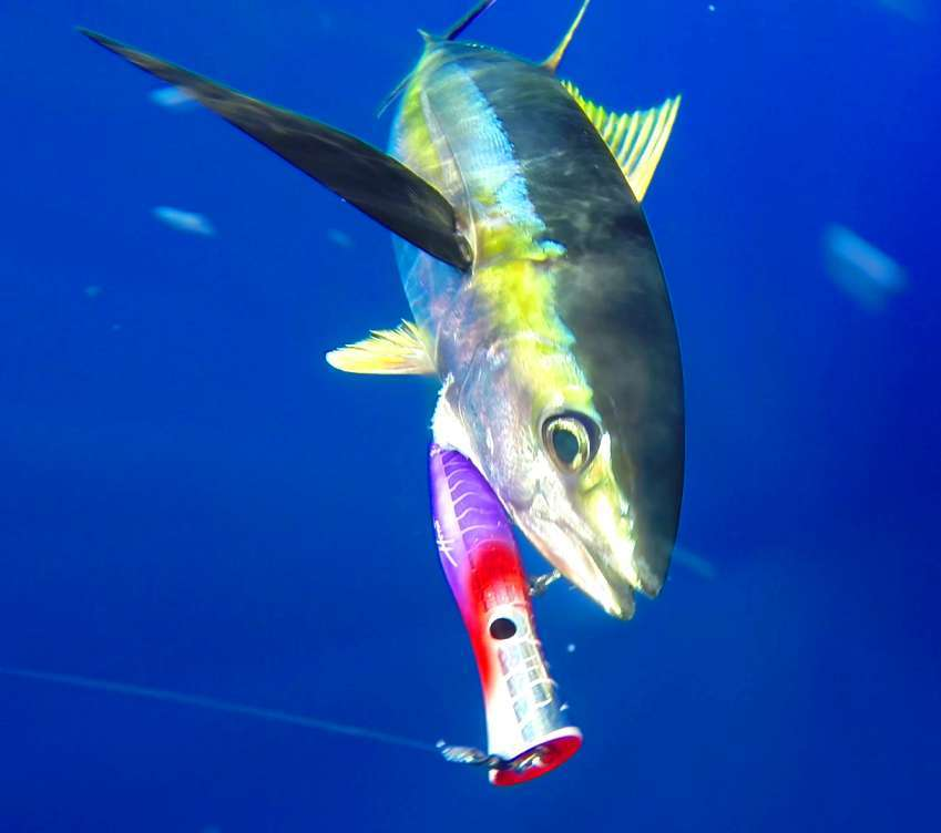 Yellow Fin Tuna on popper - Rod Fishing Club - Rodrigues Island - Mauritius - Indian Ocean