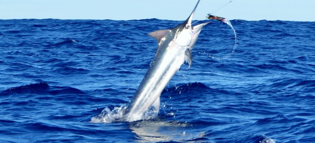 black marlin jumping - Rod Fishing Club - Rodrigues Island - Mauritius - Indian Ocean