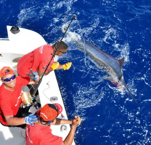 black marlin released - Rod Fishing Club - Rodrigues Island - Mauritius - Indian Ocean
