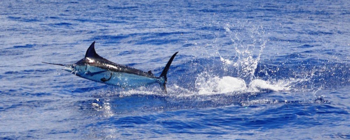blue marlin jumping - Rod Fishing Club - Rodrigues Island - Mauritius - Indian Ocean