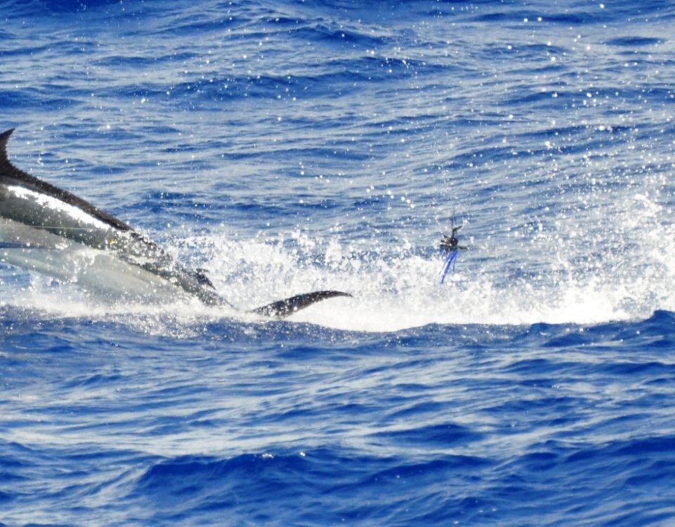 blue marlin jumping - Rod Fishing Club - Rodrigues Island - Mauritius - Indian Ocean