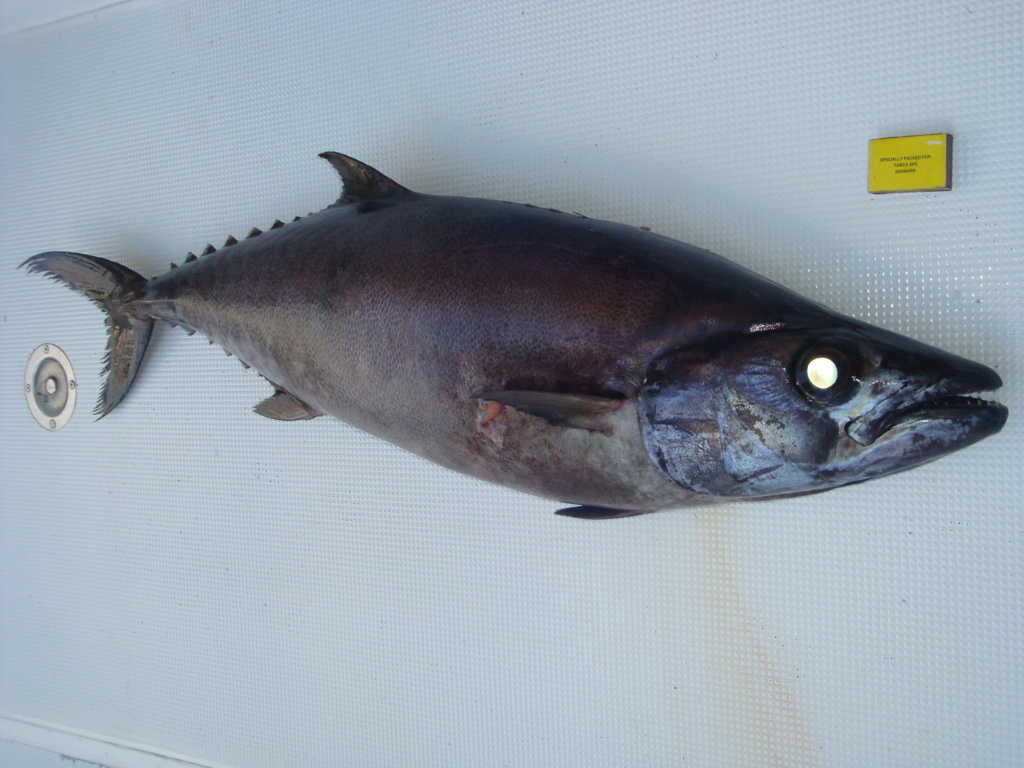 'butter fish' at 400m deep - Rod Fishing Club - Rodrigues Island - Mauritius - Indian Ocean