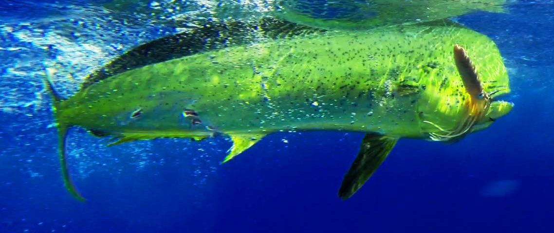 dorado - Rod Fishing Club - Rodrigues Island - Mauritius - Indian Ocean
