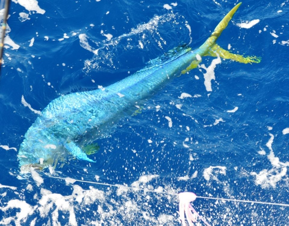 dorado close to the boat - Rod Fishing Club - Rodrigues Island - Mauritius - Indian Ocean