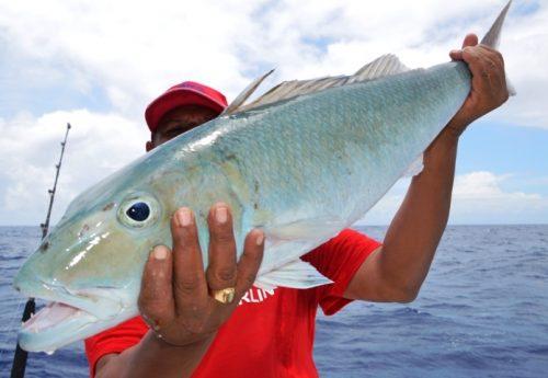 green jobfish - Rod Fishing Club - Rodrigues Island - Mauritius - Indian Ocean