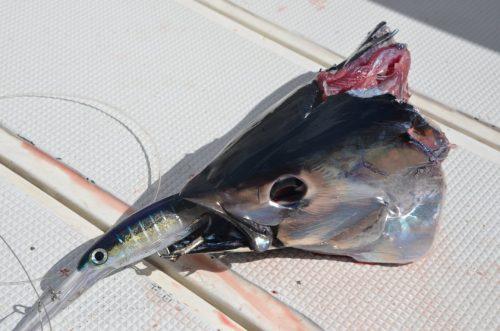 head after sharking - Rod Fishing Club - Rodrigues Island - Mauritius - Indian Ocean