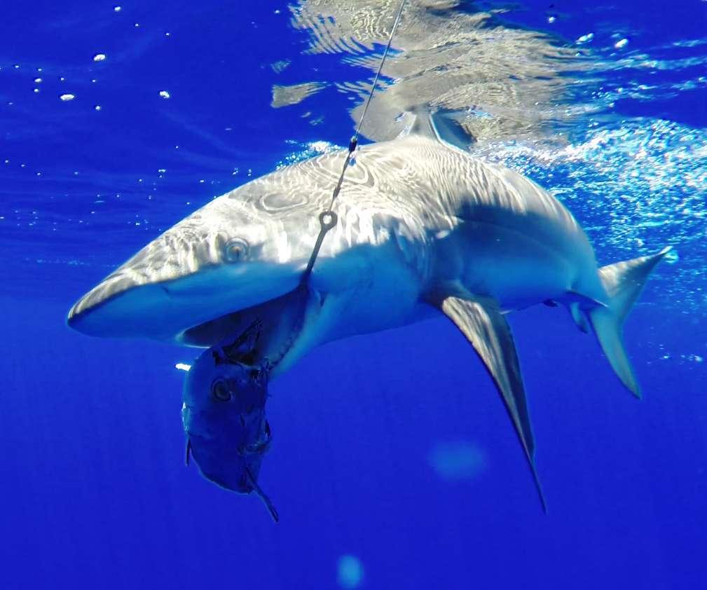 requin dagsit pris en pêche à l'appât - Rod Fishing Club - Ile Rodrigues - Maurice - Océan Indien
