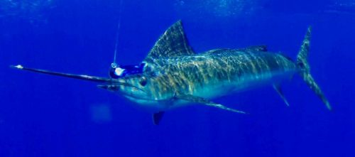 sailfish - Rod Fishing Club - Rodrigues Island - Mauritius - Indian Ocean