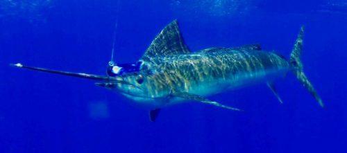sailfish - Rod Fishing Club - Rodrigues Island - Mauritius - Indian Ocean