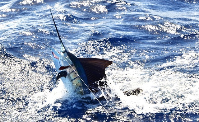sailfish caught on trolling - Rod Fishing Club - Rodrigues Island - Mauritius - Indian Ocean