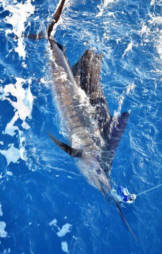 sailfish released - Rod Fishing Club - Rodrigues Island - Mauritius - Indian Ocean