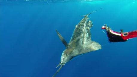underwater sailfish - Rod Fishing Club - Rodrigues Island - Mauritius - Indian Ocean