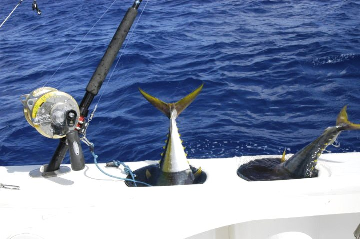 vifs dans les tunas tubes - Rod Fishing Club - Ile Rodrigues - Maurice - Océan Indien
