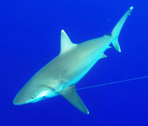 whitetip shark - Rod Fishing Club - Rodrigues Island - Mauritius - Indian Ocean