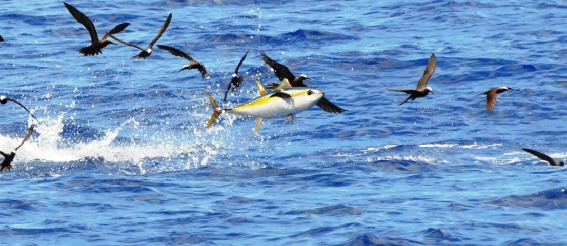 yellofin tuna jumping - Rod Fishing Club - Rodrigues Island - Mauritius - Indian Ocean