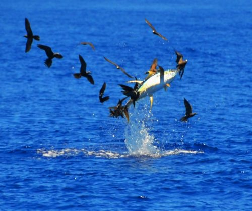 yellowfin tuna jumping - Rod Fishing Club - Rodrigues Island - Mauritius - Indian Ocean