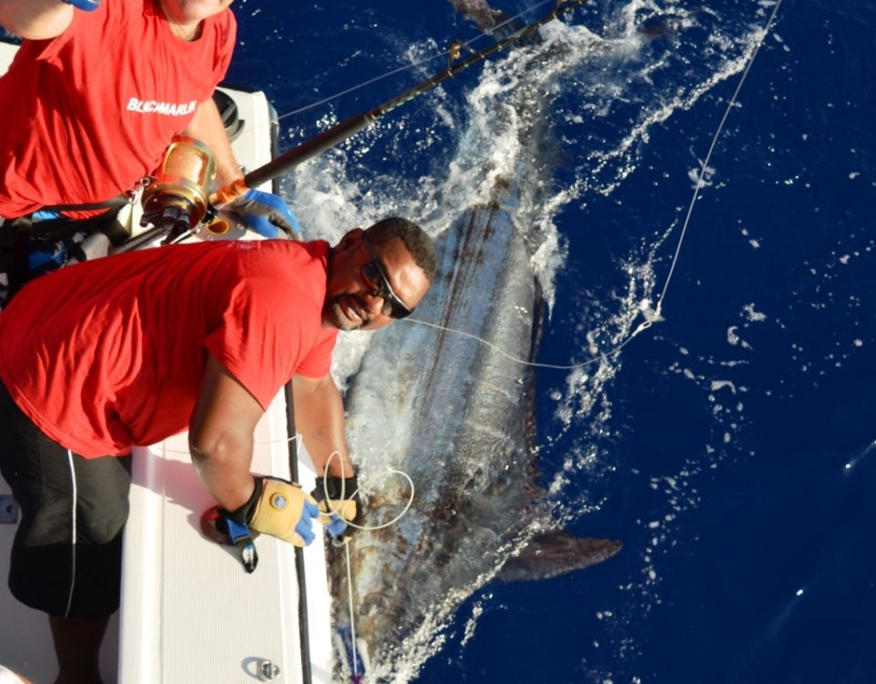 200kg Blue Marlin released for Frans on December 2015 - Rod Fishing Club - Rodrigues Island - Mauritius - Indian Ocean