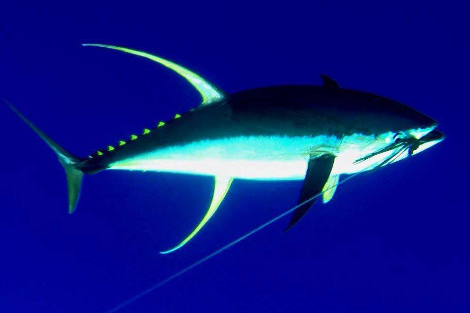 62kg yellowfin tuna on the leader - Rod Fishing Club - Rodrigues Island - Mauritius - Indian Ocean