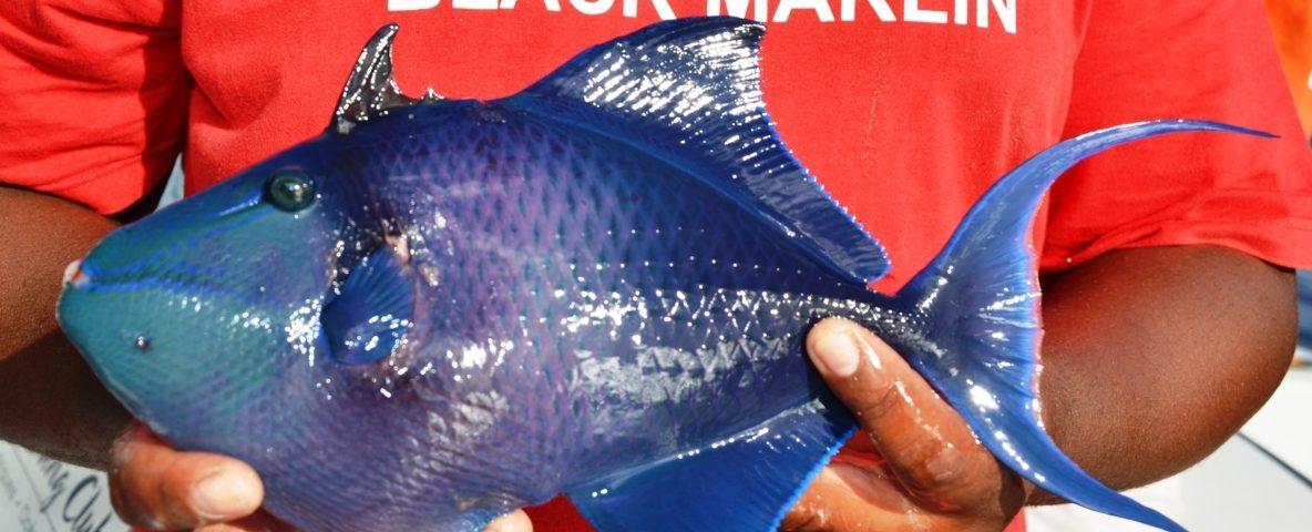 Baliste bleu en pêche à la palangrotte - Rod Fishing Club - Ile Rodrigues - Maurice - Océan Indien