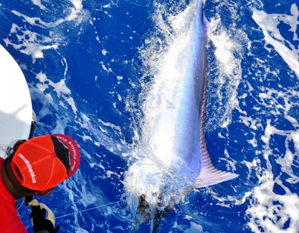 Black Marlin released in Rodrigues - Rod Fishing Club - Rodrigues Island - Mauritius - Indian Ocean