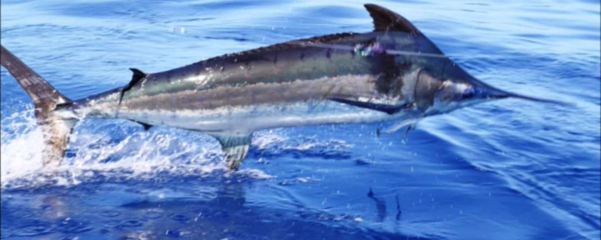 Blue marlin jumping close to the boat - Rod Fishing Club - Rodrigues Island - Mauritius - Indian Ocean