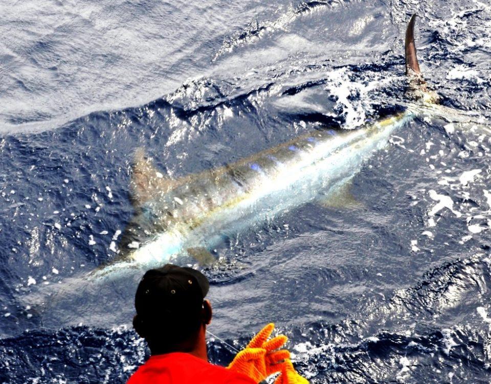 Marlin bleu relâché sur Black Marlin - Rod Fishing Club - Ile Rodrigues - Maurice - Océan Indien