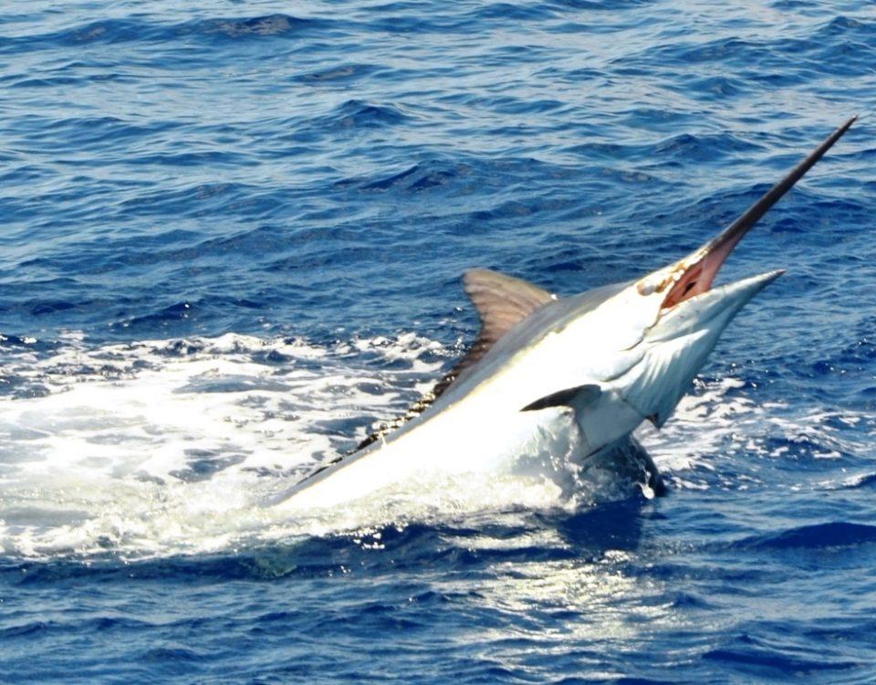 Marlin en plein saut - Rod Fishing Club - Ile Rodrigues - Maurice - Océan Indien