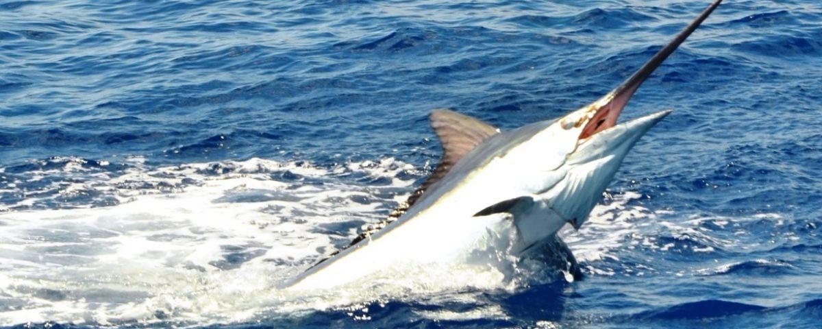Marlin jumping - Rod Fishing Club - Rodrigues Island - Mauritius - Indian Ocean