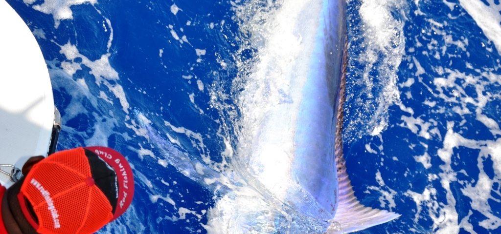 Marlin noir relâché - Rod Fishing Club - Ile Rodrigues - Maurice - Océan Indien