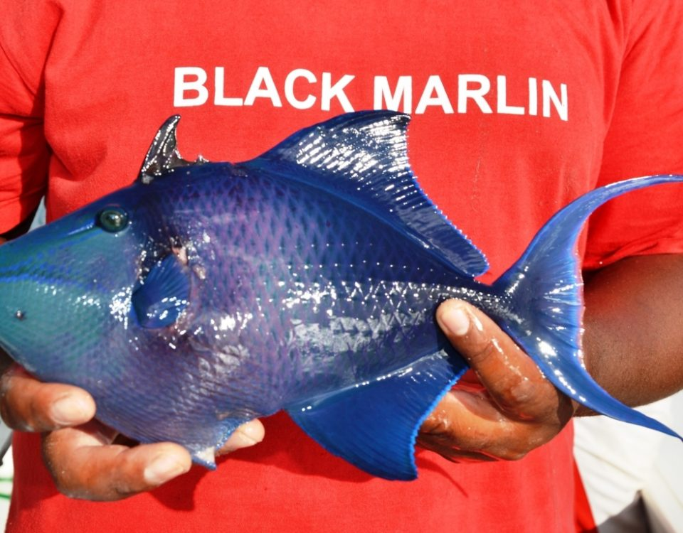 Redtoothed triggerfish - Rod Fishing Club - Rodrigues Island - Mauritius - Indian Ocean
